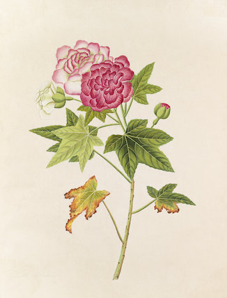 'Malva' [Hibiscus mutabilis]