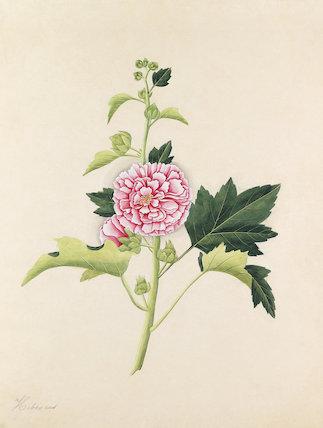 [Hibiscus rosa-sinensis]