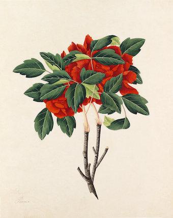 'Pionee' [Paeonia suffruticosa]