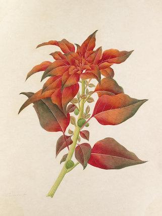 [Amaranthus tricolor]
