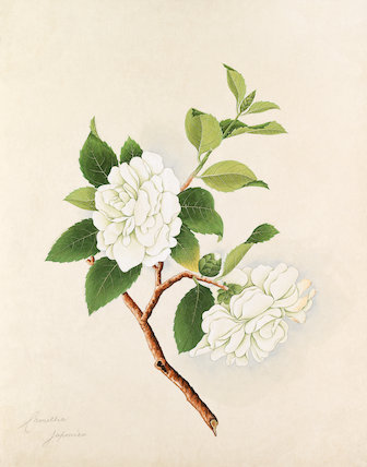 [Camellia japonica, white double]