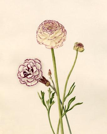 Dianthus plumarius : Ranunculus asiaticus