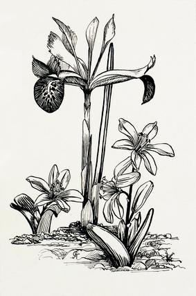 Iris histrio and Scilla mischtschenkoana