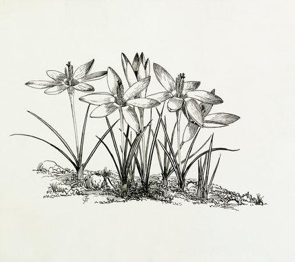 Crocus tomasinianus