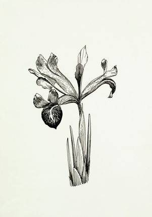 Iris histriodes