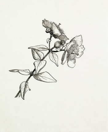 Hypericum forestii