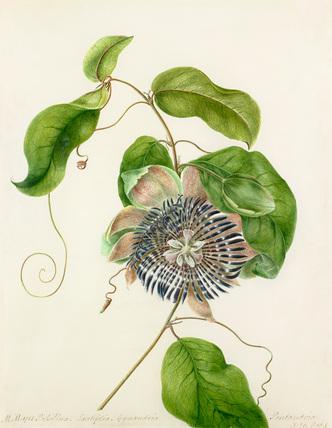 'Passiflora. Lautifolia. Gynandria'