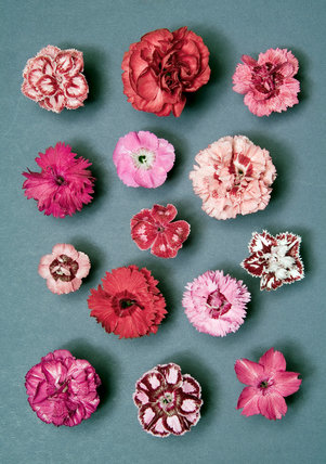 Plate of Dianthus cultivars