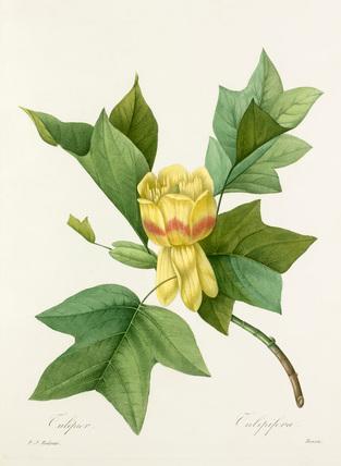'Tulipier'