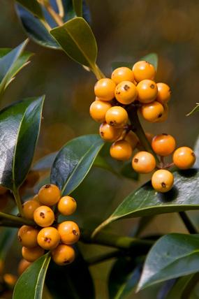 Ilex aquifolium 'Pyramidalis Fructu Luteo'