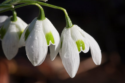 Galanthus Greatorex double