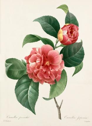 Camellia panache