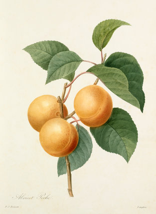 'Apricot Peche'