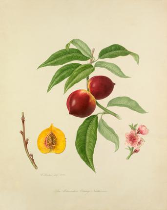 The Persimmon Orange Nectarine