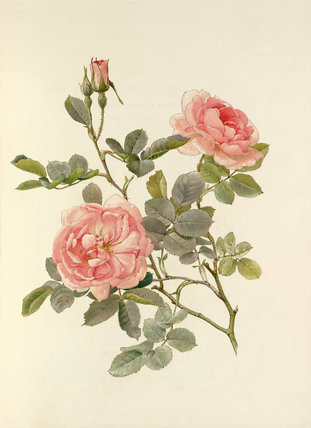 Rosa alba var. rubicunda 'Celestial'
