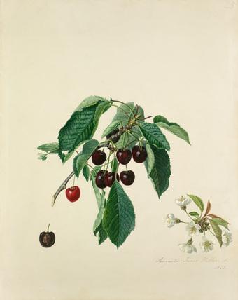 Cherry, black