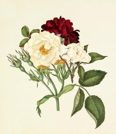 Rosa moschata, Rosa gallica 'Tuscany'