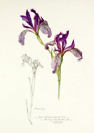 'Iris missouriensis'