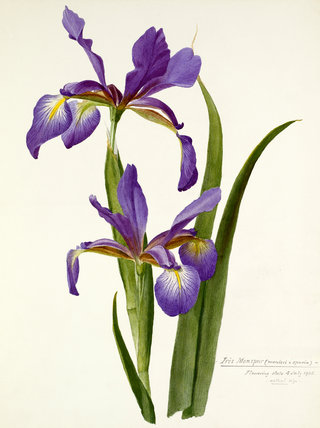 'Iris monspur'