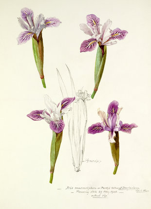 'Iris macrosiphon or Purdyi yellow × I Douglasiana'
