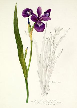 'Iris versicolor Fosteri'