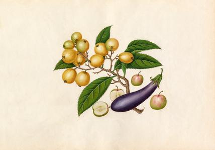 Solanum melongena, Malus prunifolia, Eriobotrya japonica