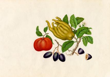 Citrus medica sarcodactylis, Citrus reticulata, Carissa caraunda