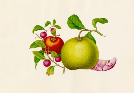 Citrus maxima, Diospyros kaki, Litchi chinensis