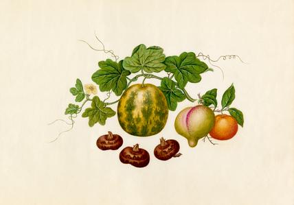 Citrus reticulata, Prunis persica, Citrullus lanatus, Eleocharis tuberosa