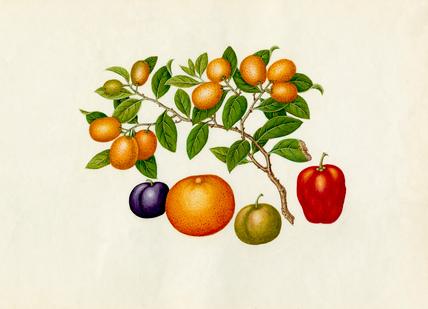 Fortunella margarita, Annona reticulata, Prunus domestica, Citrus sinensis
