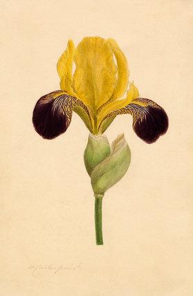 Iris 'Vandewill'