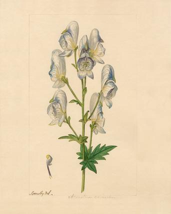 Aconitum variegalum