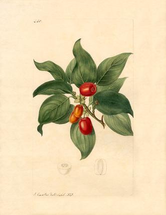 Cornus mascula