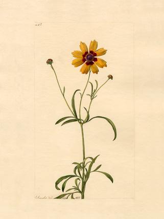 Coreopsis tinctoria