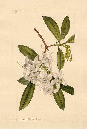 Rhodod. hybridium