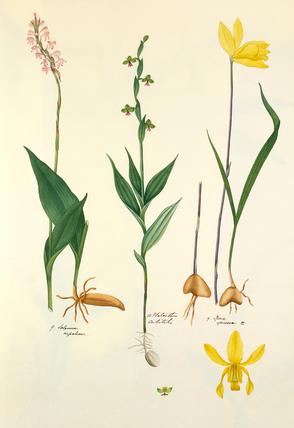 9. Satyrium nepalense: 10. Platanthera cubitalis: 19. Ipsea speciosa