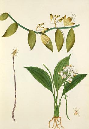 'Vanilla, Podanthera and C.viratrifolia var.'