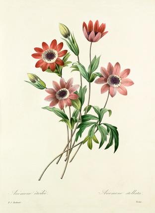 Anémone étoilée  :  Anemone stellata