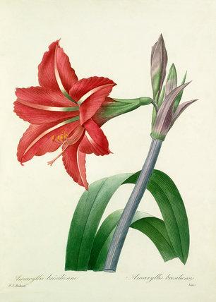 Amaryllis brésilienne : Amaryllis bresiliensis