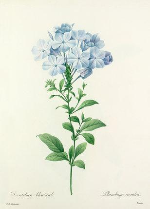 Dentelaire bleu-ciel : Plumbago caerulea