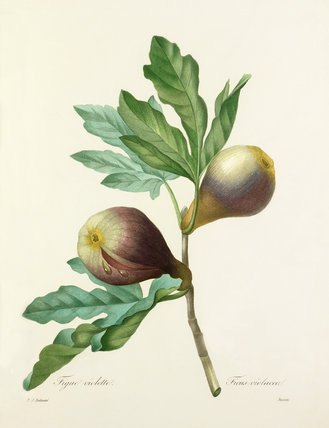 Figue violette : Ficus violacea