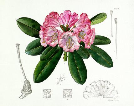 'Rhododendron vernicosum'