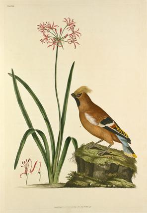 'Ampellis garrulus, Amaryllis undulata'