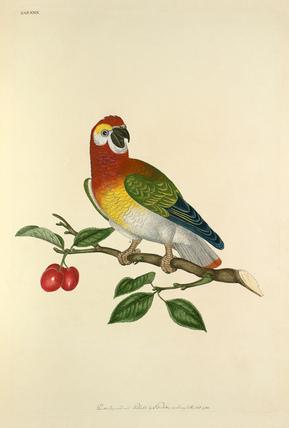 'Psittacus Guineensis'