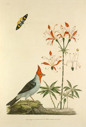 'Loxia coronata var. L. Dominicanae, Alstroemeria ligta'
