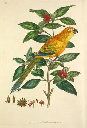 'Psittacus solstitialis, Illicium floridanum'