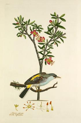 'Oriolus trifasciatus, Aitonia capensis'