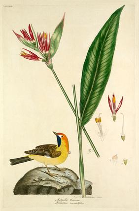 'Motacilla aurata, Heliconia marantifolia'