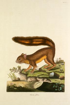 'Sciurus fulvus'
