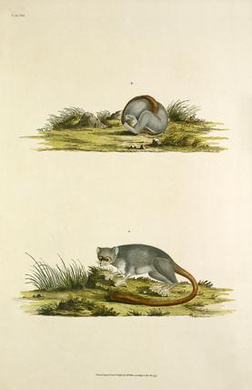 'Lemur murinus'